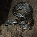 Common Madagascar Cat Snake - Photo (c) louisedjasper, all rights reserved