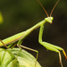 European Mantis - Photo (c) Игорь Мальцев, all rights reserved