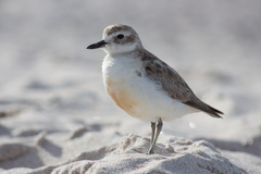 Northern New Zealand Dotterel - Photo (c) Finn Davey, all rights reserved