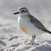 Northern New Zealand Dotterel - Photo (c) Finn Davey, some rights reserved (CC BY-NC)