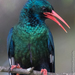 Larger Green Woodhoopoe - Photo (c) Robert Siegel, all rights reserved