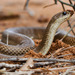 Blonde Hognose Snake - Photo (c) louisedjasper, all rights reserved