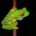 Agalychnis taylori - Photo (c) msilver2, todos los derechos reservados