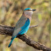 Indian Roller - Photo (c) Marc Faucher, all rights reserved