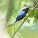 Long-tailed Manakin - Photo (c) Daniel Garza Tobón, all rights reserved