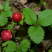 Mock Strawberry - Photo (c) Dendroica cerulea, some rights reserved (CC BY-NC-SA)