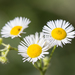 Annual Fleabane - Photo (c) Bill Keim, some rights reserved (CC BY)