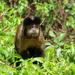 Capuchino de Azara - Photo (c) Jake Wilcox, todos los derechos reservados