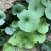 Wall Pennywort - Photo (c) mercantour, all rights reserved