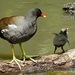 Typical Moorhens - Photo (c) Charos Pix, some rights reserved (CC BY-NC-SA)