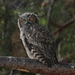 Magellanic Horned Owl - Photo (c) Pedro Pagnotta, all rights reserved