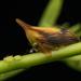 Enchenopa concolor - Photo (c) Peter Marting, todos los derechos reservados