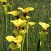 Sarracenia flava rugelii - Photo (c) Brandon Corder, all rights reserved