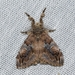 Cocoa Tussock Moth - Photo (c) Roger C. Kendrick, all rights reserved