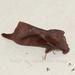 Kunugia divaricata - Photo (c) Roger Kendrick, todos los derechos reservados