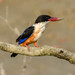 Black-capped Kingfisher - Photo (c) Marc Faucher, all rights reserved