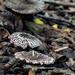 Agaricus endoxanthus - Photo (c) Juan Sangiovanni, todos los derechos reservados