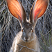 Lagomorphs - Photo (c) Greg Shchepanek, all rights reserved