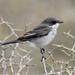 Melaenornis silens - Photo (c) David Beadle, όλα τα δικαιώματα διατηρούνται, uploaded by dbeadle