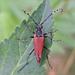 Brachyleptura rubrica - Photo (c) Bill Keim,  זכויות יוצרים חלקיות (CC BY)