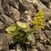 Aeonium canariense subplanum - Photo (c) Thomas Silberfeld, todos los derechos reservados
