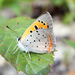 Small Copper - Photo (c) Greg Shchepanek, all rights reserved