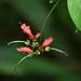 Aeschynanthus moningeriae - Photo (c) 黄秦, all rights reserved