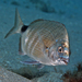 Spottail Pinfish - Photo (c) Kevin Bryant, some rights reserved (CC BY-NC-SA)