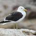 Cape Gull - Photo (c) David Beadle, all rights reserved, uploaded by dbeadle