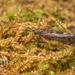 Hydropsychidae - Photo (c) Danilo Hegg, όλα τα δικαιώματα διατηρούνται