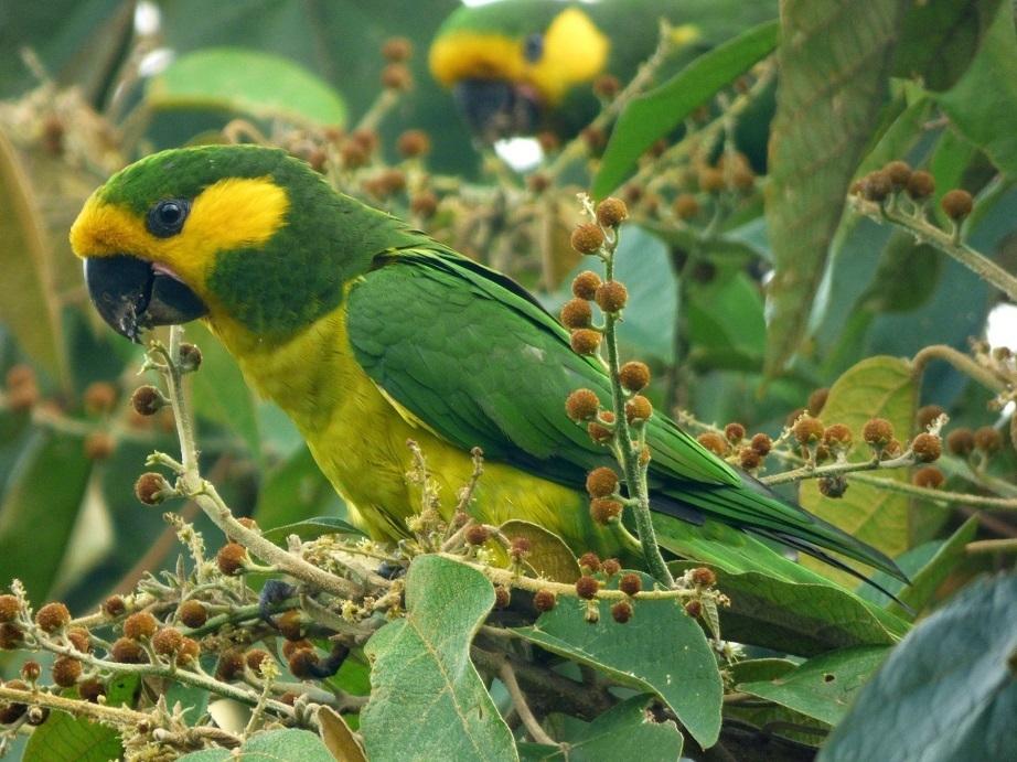 Loro orejiamarillo (Fauna y flora de la Reserva Natural La Esperanza) ·  iNaturalist