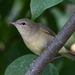 Garden Warbler - Photo (c) Татьяна Спицына, all rights reserved