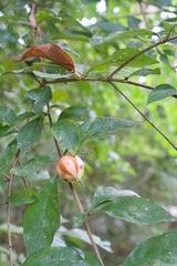 Rosenbergiodendron formosum image