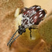 Escarabajos de Las Semillas - Photo (c) Bufface, todos los derechos reservados