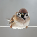 Eurasian Tree Sparrow - Photo (c) Татьяна Спицына, all rights reserved