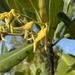 Rhizophora mangle - Photo (c) Bryan Ames, όλα τα δικαιώματα διατηρούνται