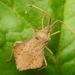 Syromastus rhombeus - Photo (c) wojtest, todos los derechos reservados