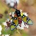 Arctiinae - Photo (c) Juan Carlos Garcia Morales, όλα τα δικαιώματα διατηρούνται