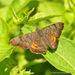 Mariposa Jaspeada de Parche Negro - Photo (c) Juan Carlos Garcia Morales, todos los derechos reservados
