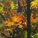 Quercus cerris - Photo (c) CerciSiliquastrum, todos los derechos reservados