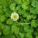 Trifolium repens - Photo (c) Cheryl Limbrick Hood, όλα τα δικαιώματα διατηρούνται
