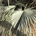 Mexican Blue Palm - Photo (c) jrebman, some rights reserved (CC BY-NC)