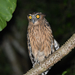 Buffy Fish-Owl - Photo (c) 黄秦, all rights reserved