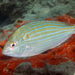 Pinfish - Photo (c) Kevin Bryant, some rights reserved (CC BY-NC-SA)