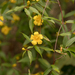 Yellow Jessamine - Photo (c) dogtooth77, some rights reserved (CC BY-NC-SA)