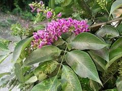 Image of Lonchocarpus acuminatus