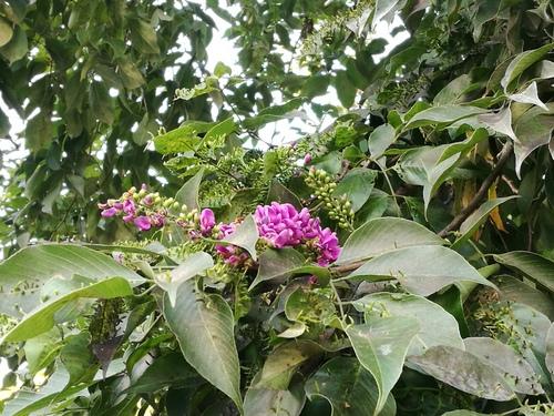Lonchocarpus acuminatus image