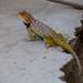 Baja California Spiny Lizard - Photo (c) Gerardo Marrón, all rights reserved