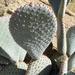 Opuntia basilaris basilaris - Photo (c) Jim Roberts, todos los derechos reservados