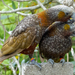 North Island Kaka - Photo (c) Judi Lapsley Miller, some rights reserved (CC BY)